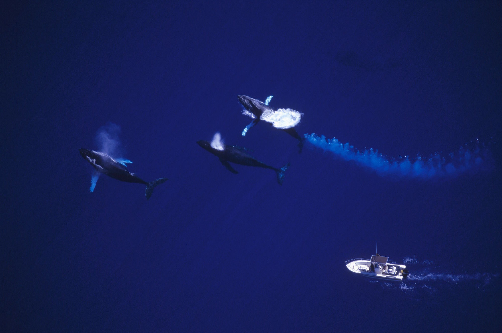 Dr Jim Darling in boat follows group of male Humpbacks (Megaptera novaeangliae) contesting for female, Maui, Hawaii